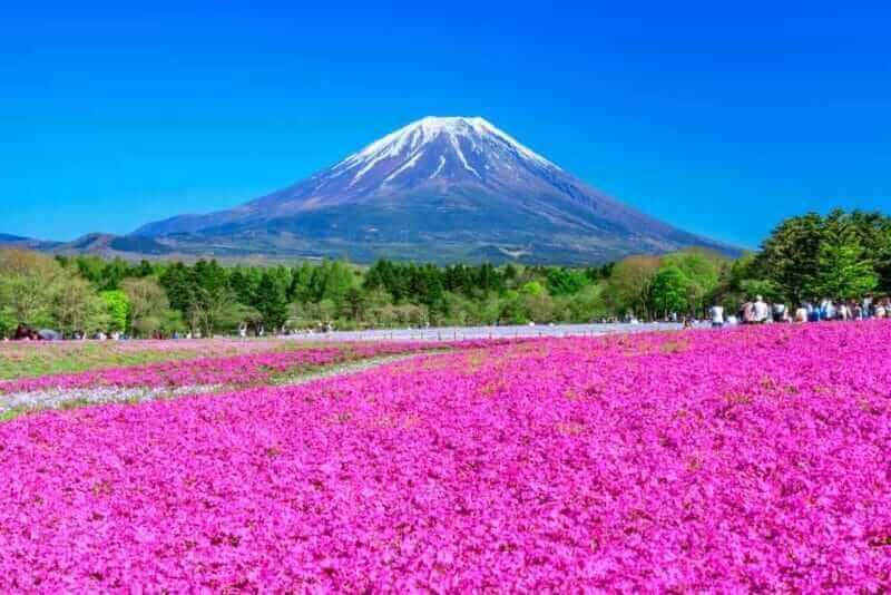 Mt. Fuji and Shiba Sakura (moss phlox, moss pink, mountain phlox). A spectacular spring landscape representing Japan.
