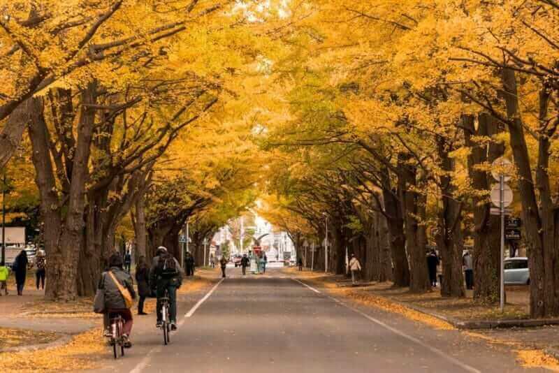 The ginkgo street in fall season in Hokkaido University Sapporo city Hokkaido Japan on 26 October 2016 = shutterstock