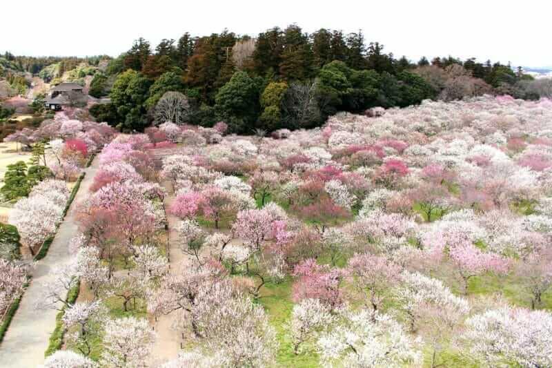Beautiful plum blossoms rejuvenate people = AdobeStock