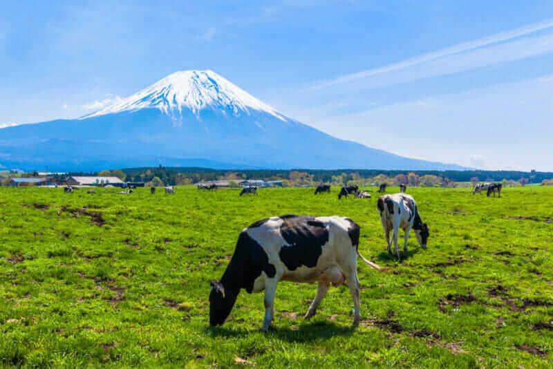 Cattle grazing in Asagirikogen to Mount Fuji views = shutterstock