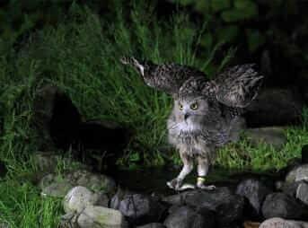 Blakiston's fish owl (Ketupa blakistoni) in Hokkaido,Japan = Shutterstock