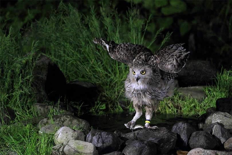 होक्काइडो, जापान = शटरस्टॉक में ब्लैकिस्टन की मछली उल्लू (केतुपा ब्लाकिस्टोनी)
