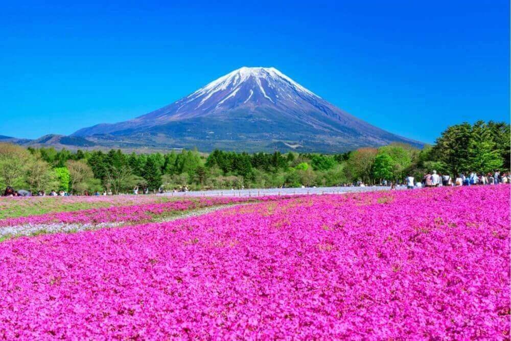 माउन्ट फुजी र शिबा सकुरा (काई फ्लोक्स, काई गुलाबी, हिमाली फ्लोक्स)। जापान प्रतिनिधित्व एक शानदार वसन्त परिदृश्य = शटरस्टक