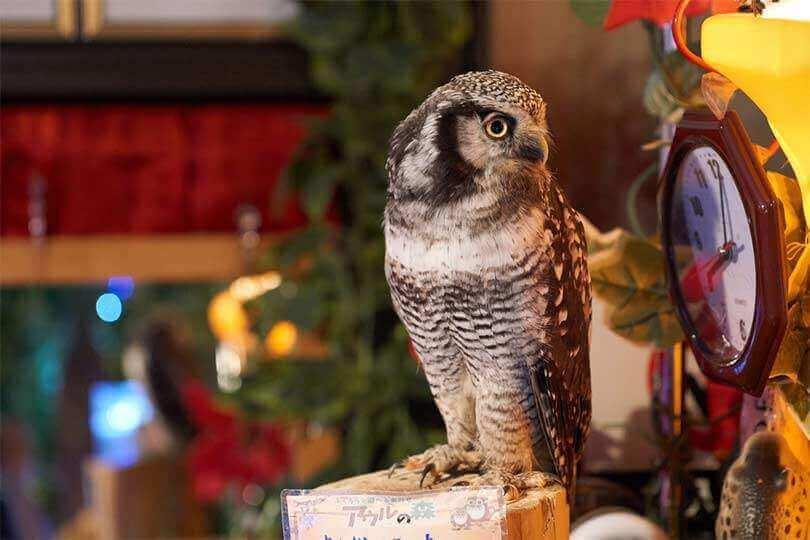 Owl looking at a clock in a Akihabara owl cafe, Akihabara. Tokyo, Japan = Shutterstock