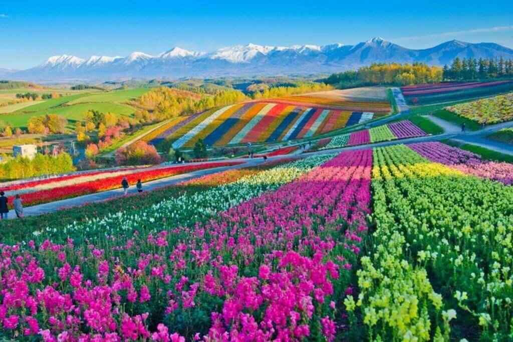 Panoramic Flower Gardens Shikisai hill in Biei, Hokkaido,Japan