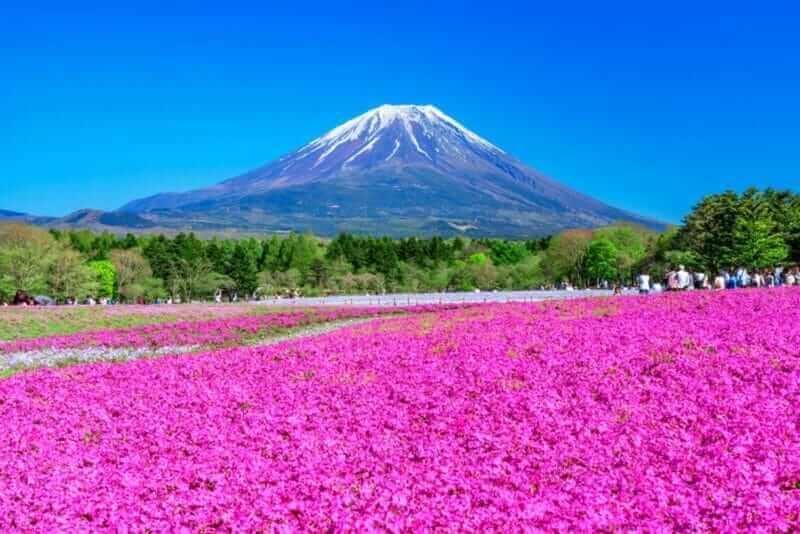 माउंट फ़ूजी और शिबाज़ाकुरा (मॉस फ़्लोक्स, मॉस पिंक, माउंटेन फ़्लोक्स)। एक शानदार वसंत परिदृश्य जापान = शटरस्टॉक का प्रतिनिधित्व करता है