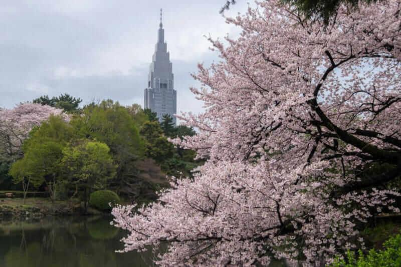 Cherry Blossom Season in Shinjuku Gyoen, Tokyo Japan = shutterstock