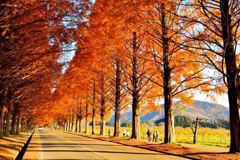 Metasequoia trees in Makino, Takashima, Shiga, Japan = shutterstock