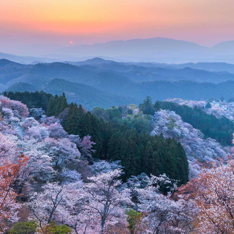 Cherry blossoms in Mt. Yoshino = Shutterstock 1