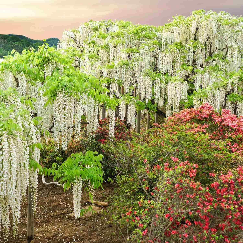 အဆိုပါ Wisteria Kawachi Wisteria ဥယျာဉ်တော်၌ပန်းပွင့်။ Kitakyushu, Fukuoka, Kyushu = Shutterstock 3