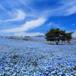 Hitachi Seaside Park in Ibaraki prefcture = Shutterstock 1
