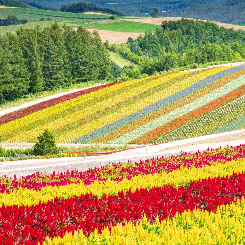 Landscapes of Hokkaido's summer flower gardens = AdobeStock 1