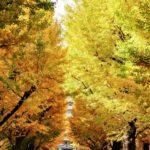 У кампуса Хонго Токийского университета красивые осенние листья в ноябре, Токио = Shutterstock 4