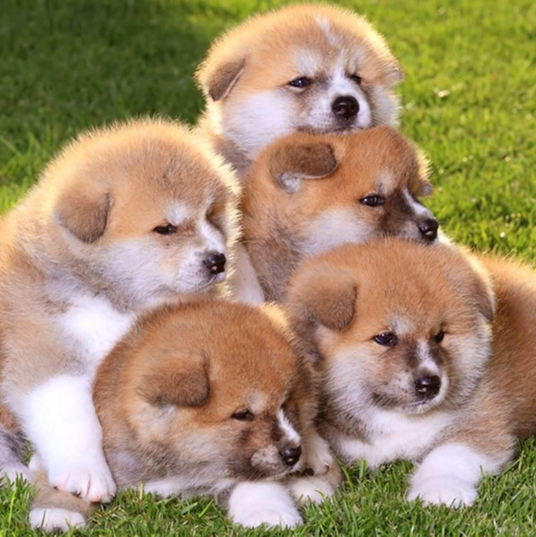 Akita dog is gaining popularity worldwide = Shutterstock 3