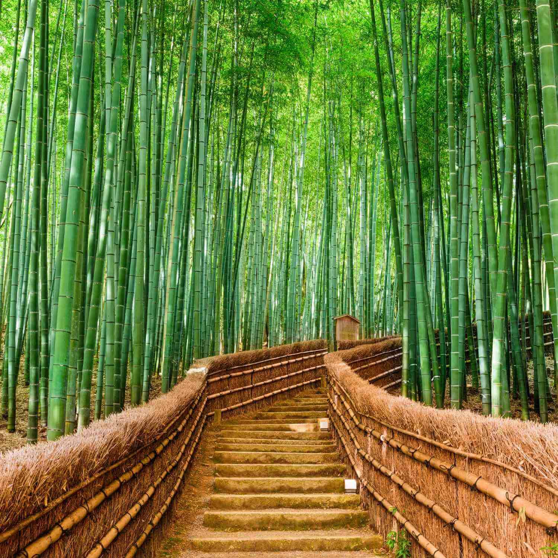 Bamboo forest in Arashiyama, Kyoto city = Shutterstock 1