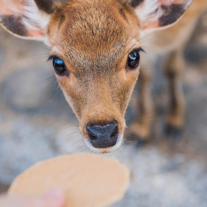 Wild deer in Nara City, the ancient capital of Japan = Shutterstock 2